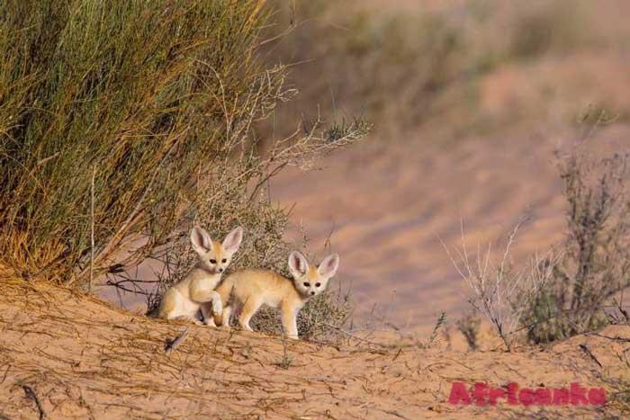 Алжир животные