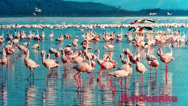 Кения фламинго