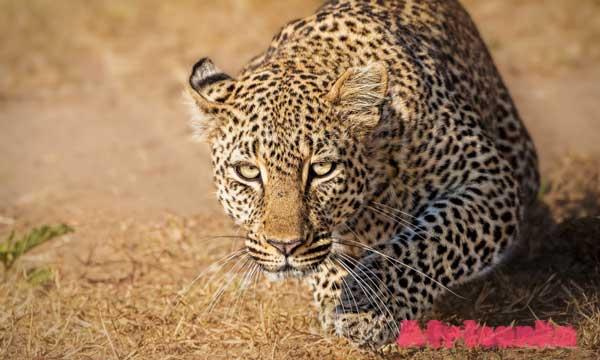 Большая пятерка - Африканский леопард