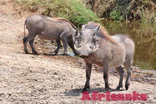 Животные Серенгети