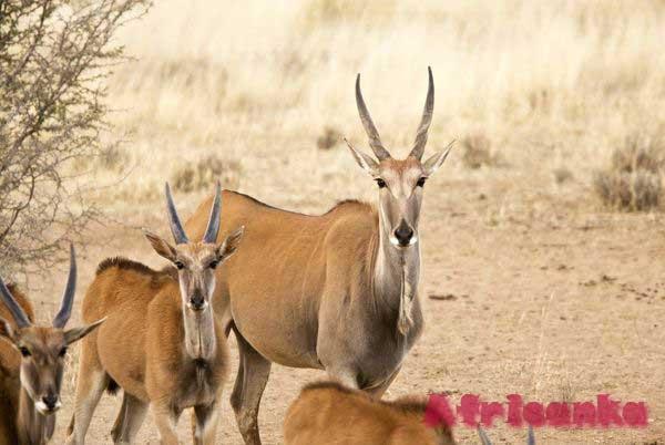 Животные Калахари