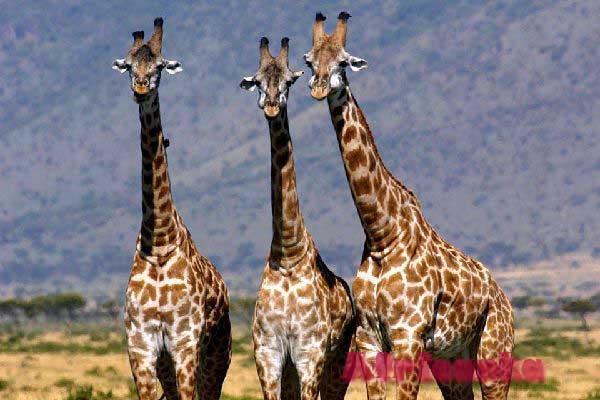 Камерун животные