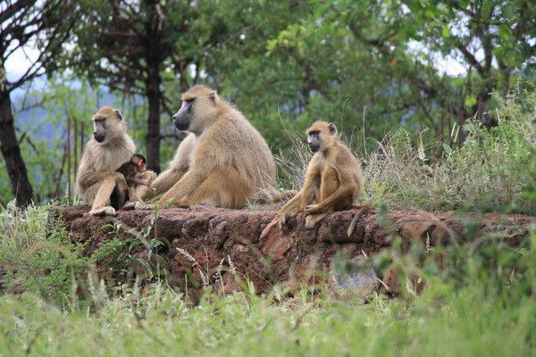 бабуины в Гамбии
