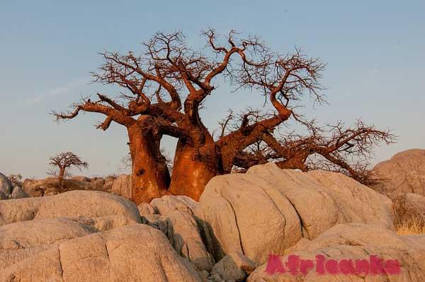 Растительная жизнь Ботсваны