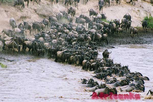 Дикие животные в Африке: Гну