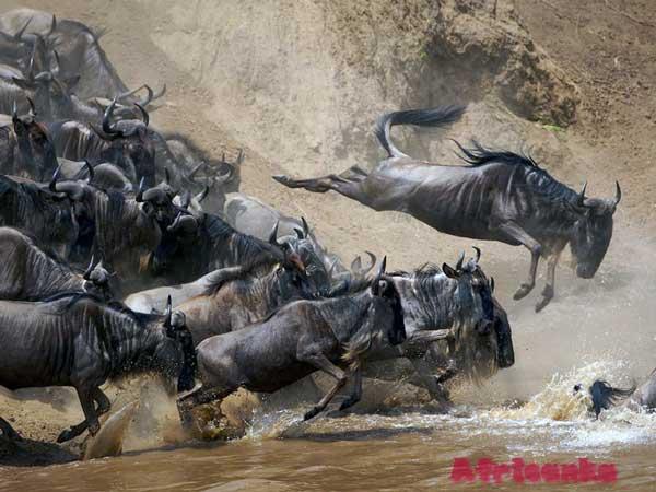 Великая миграция гну в Танзании