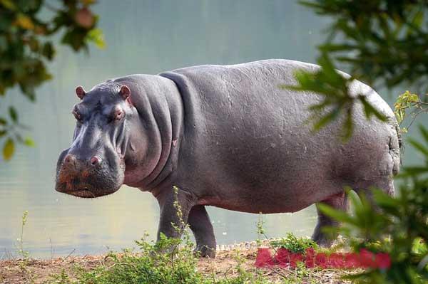 Дикие животные в Африке: Бегемот