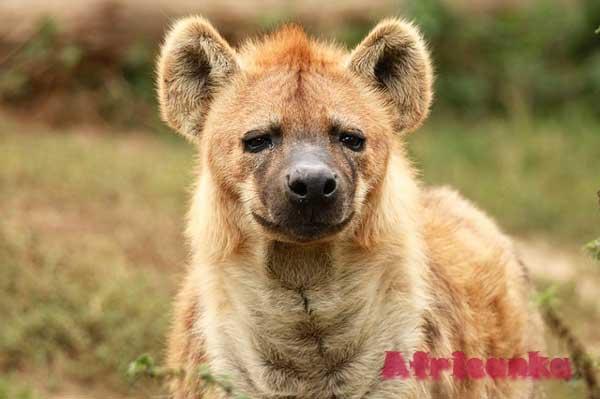 Дикие животные в Африке: Гиена