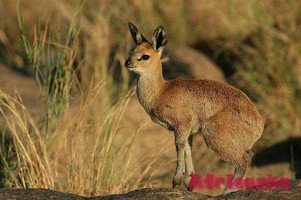 Антилопа-прыгун (клиппшпрингер)