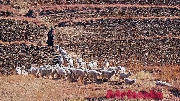 Лесото: сельское хозяйство