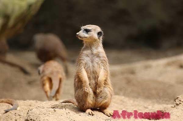 Дикие животные в Африке: Сурикат
