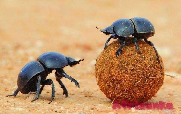 Дикие животные в Африке: Навозный жук