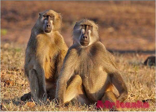 Дикие животные в Африке: Павиан