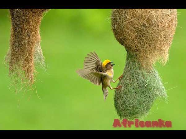 птица ткач