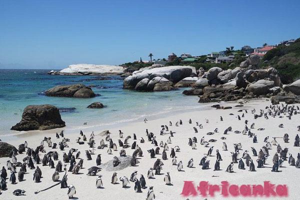 Отдых в Кейптауне: Боулдерс-Бич