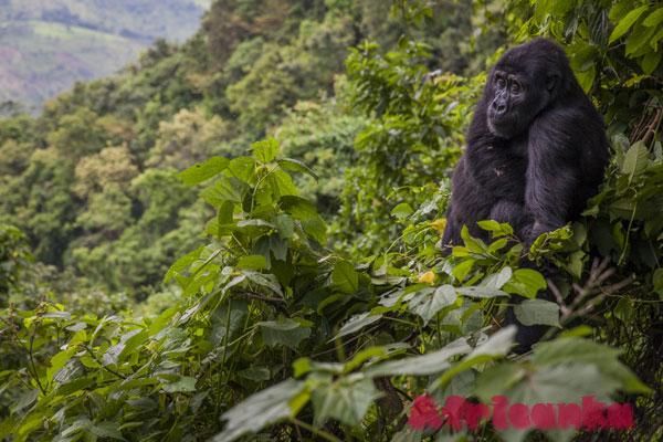 Непроходимый лес Бвинди, Уганда