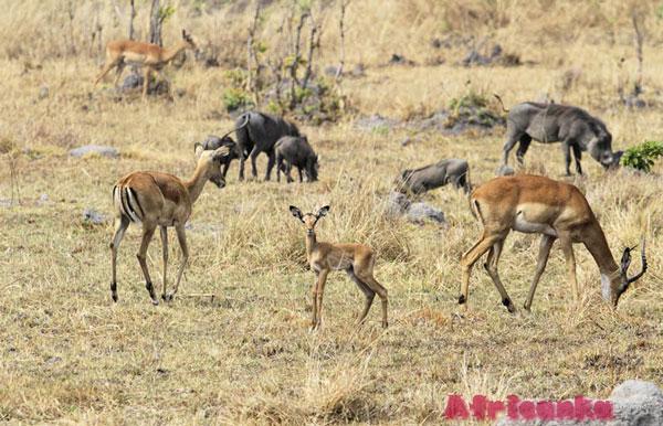 Отдых в Замбии: Национальный парк Кафуэ