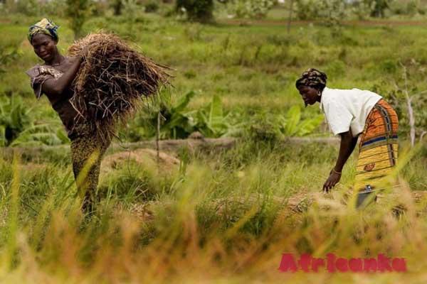 Сельское хозяйство в Либерии