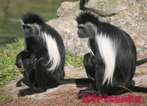 Где увидеть обезьян в Африке: Диани Форест, Кения