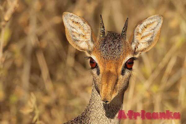 Дик-Дик /10 необычных животных Африки