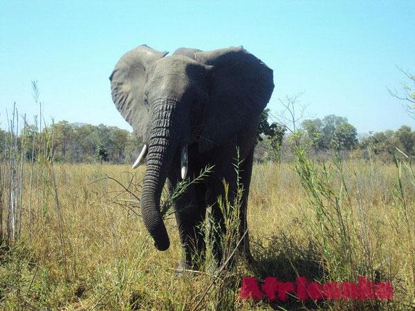 Слон в Малави