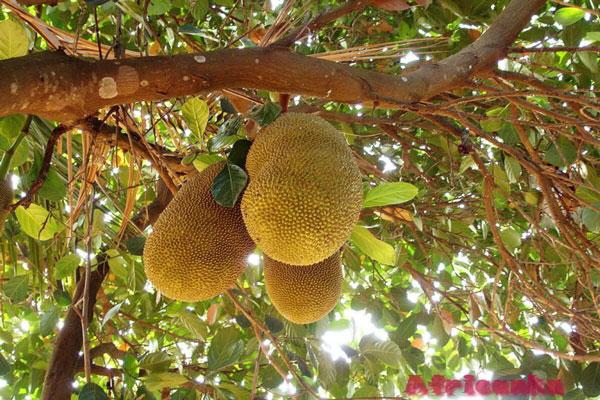 Хлебные фрукты / Факты о Сейшельских островах