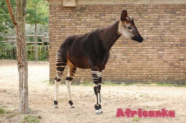 Окапи / 10 необычных животных Африки