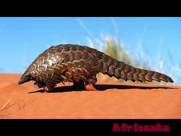 Панголин / 10 необычных животных Африки