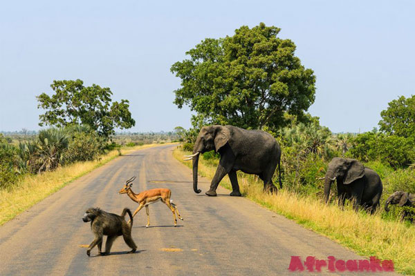 Где увидеть обезьян в Африке: Национальный парк Крюгера, ЮАР