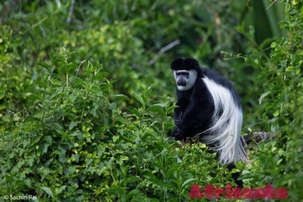 Черных колобусов в тропического леса Конг