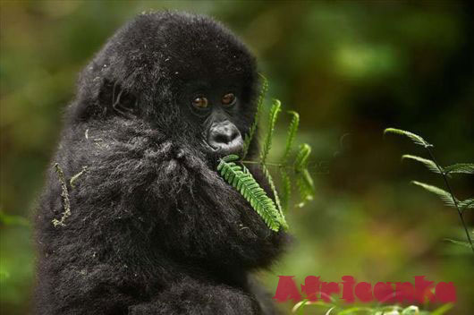 15 самых исчезающих животных в Африке