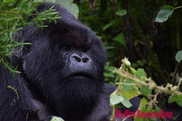 Горная горилла, Руанда