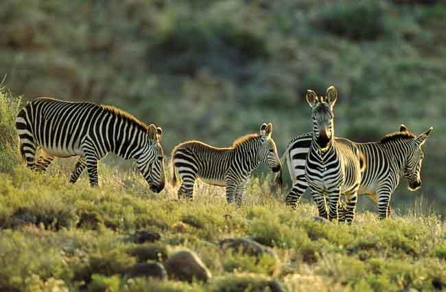 Национальный парк Горная Зебра, Южная Африка