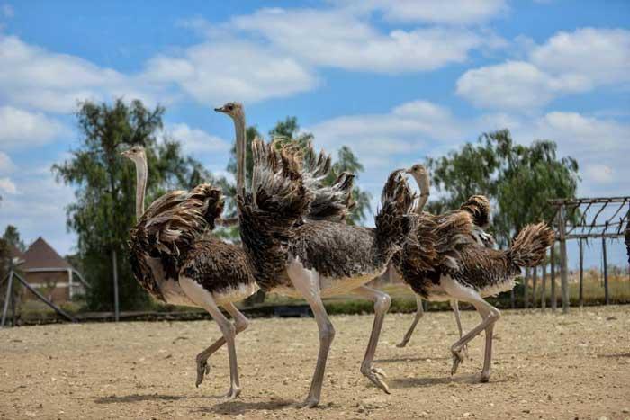 страусиной ферме Масаи