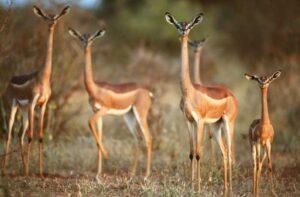 антилопы в Африке