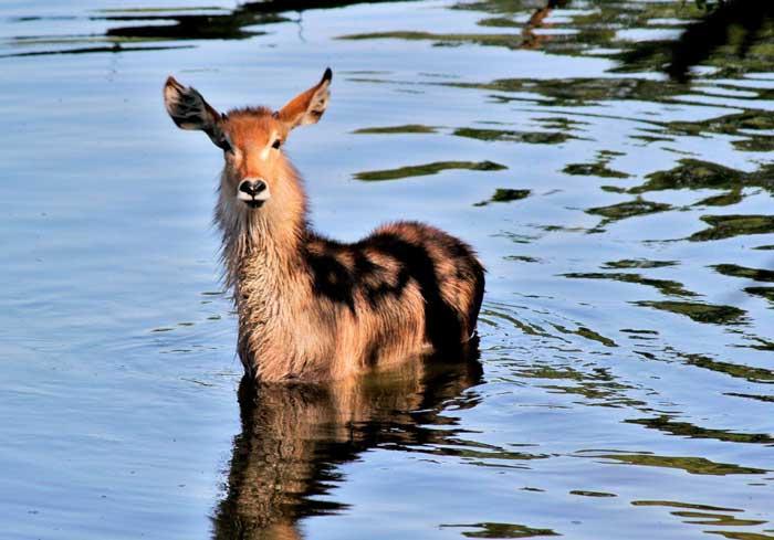 Обыкновенный водяной козел