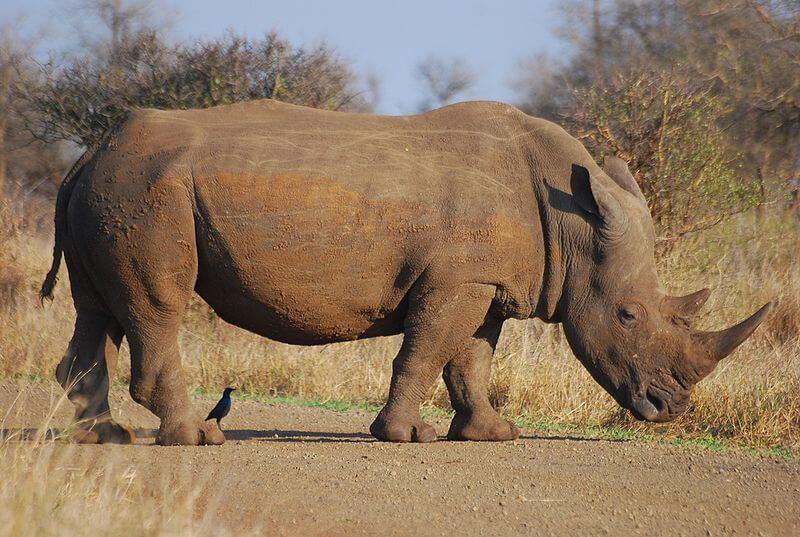 Африканский носорог